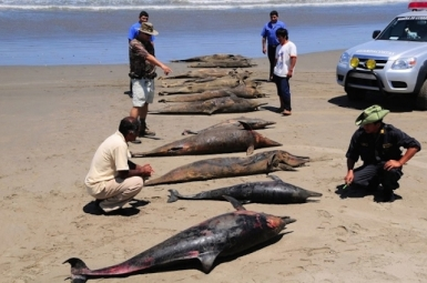 dolphin-carcasses-are-displayed-by-conservationists-and-environmental-police-officers-at-san-jose-beach-40kms-north-of-chiclayo-april-6-2012