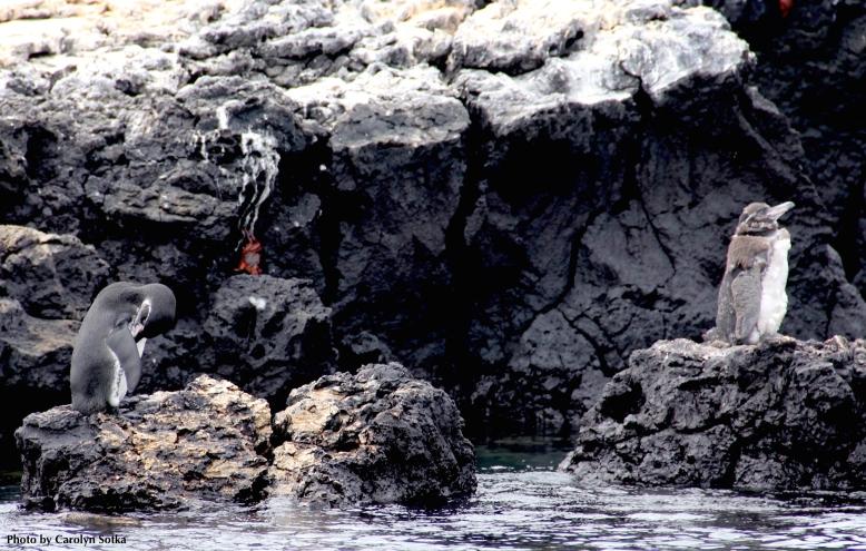 3 GalapagosBabyPenguinTintoreasSotka